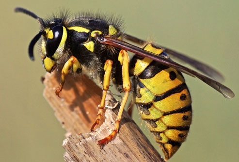 Would you know what to do if your pet is stung by a wasp or a bee?